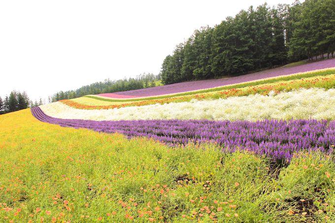 ファーム富田一番人気「彩りの畑」!