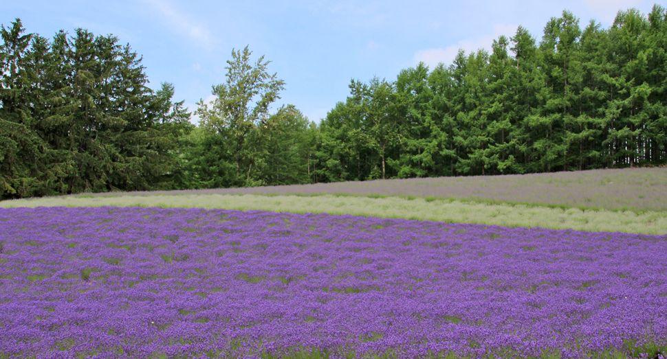 ファーム富田は「トラディショナルラベンダー畑」から始まった!