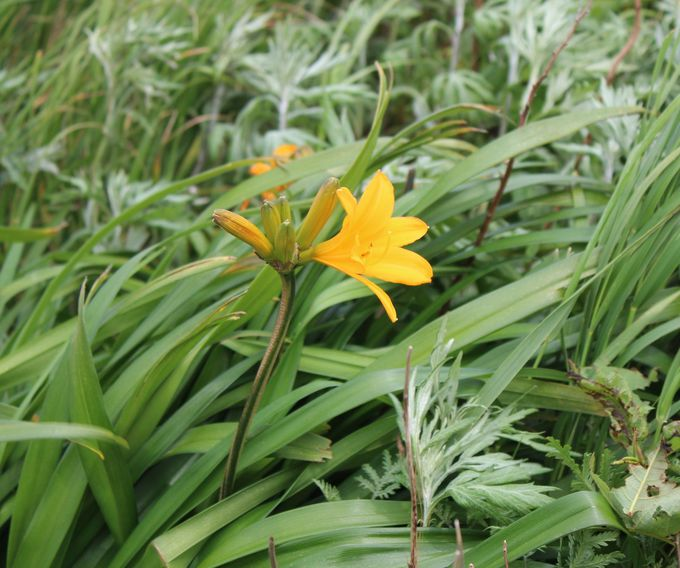「高山植物」のお花も鑑賞しよう