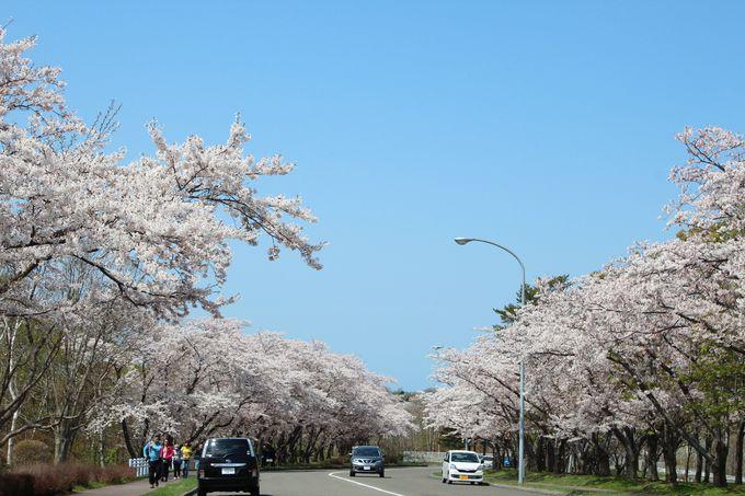 8000本の絶景桜並木、石狩市「戸田記念墓地公園」