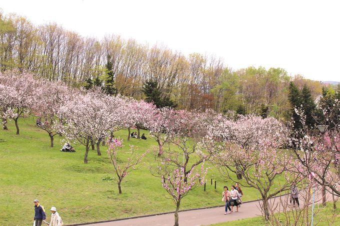 「平岡公園梅林」は1200本の白梅と紅梅が美しい!