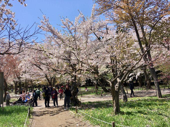 札幌を代表するお花見処「北海道神宮&円山公園」