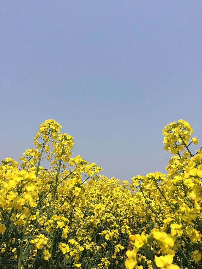 日本最大級の規模を誇る「たきかわ菜の花まつり」