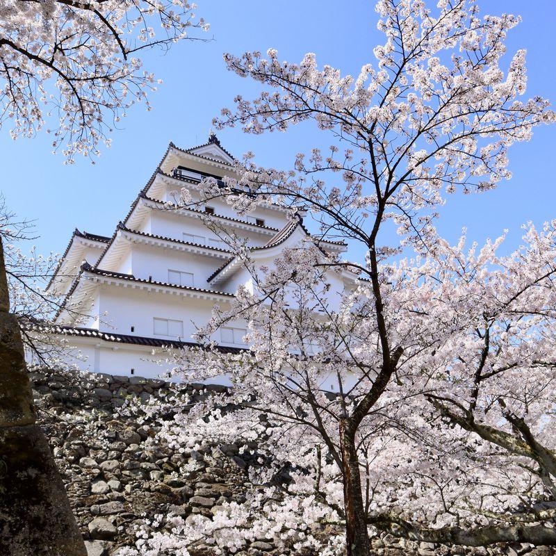 鶴ヶ城 期間限定1000本の桜とライトアップ!福島県会津若松市