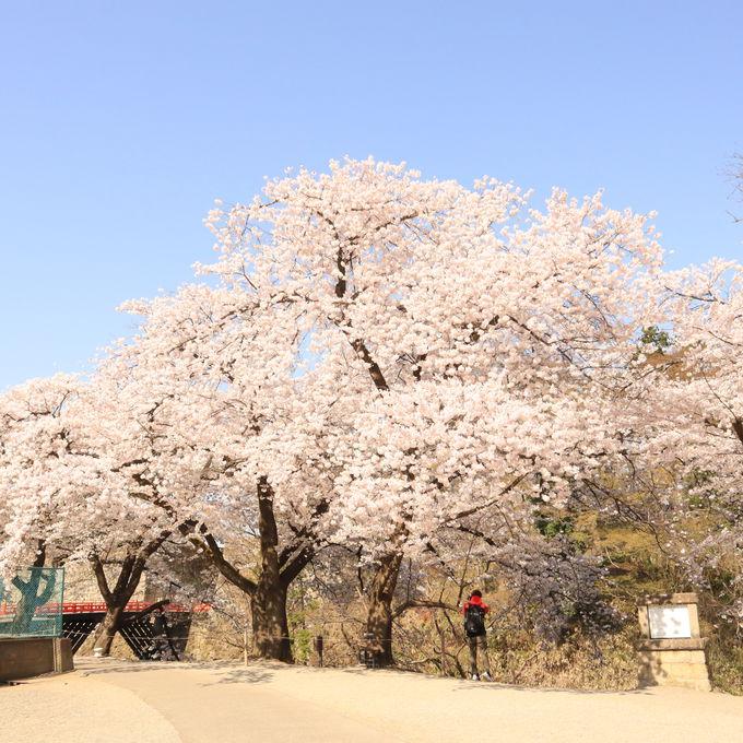 絵になる桜スポットも!