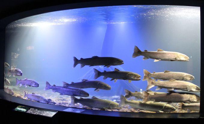 幻の魚「イトウ」の数が日本一