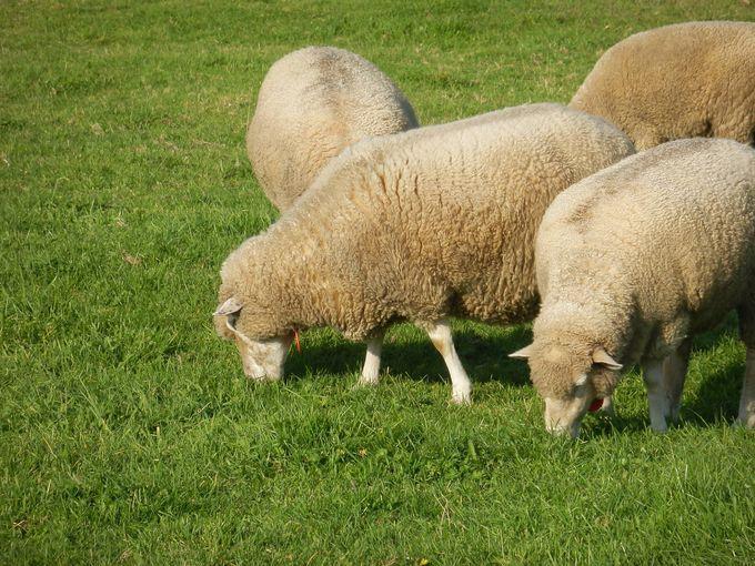 牧草を食む羊の群れを見られることも!