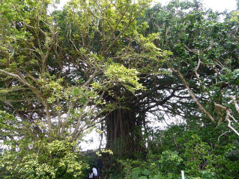 樹齢数百年の樹木からもらうパワー!鹿児島・喜界島は生命力溢れる島