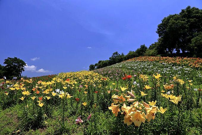 「あしかがフラワーパーク」と「太田吉沢ゆりの里」で季節の花を満喫!