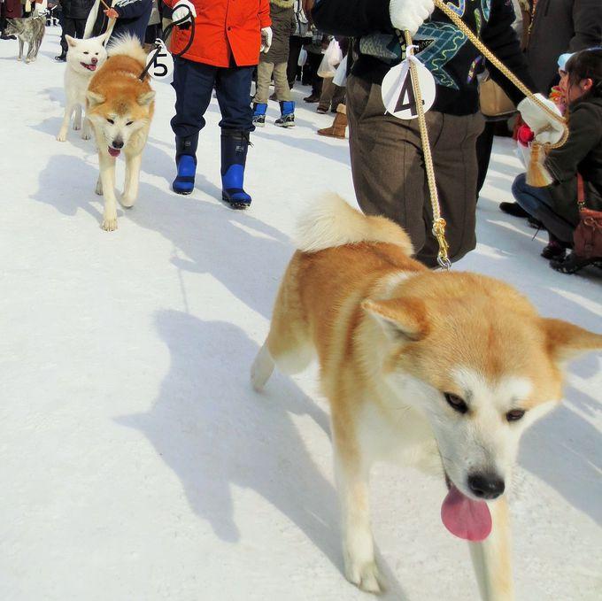 秋田犬とのふれあいコーナーとパレードも!