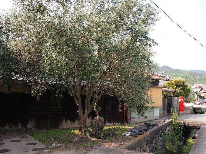 カフェへと伸びる、オリーブに囲まれた小豆島の田園プチさんぽ