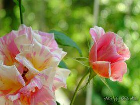 高知「モネの庭」モネが愛したバラ、行列のできるカフェも魅力