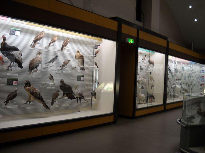 世界の鳥コーナーにある剥製は圧巻のひとこと!