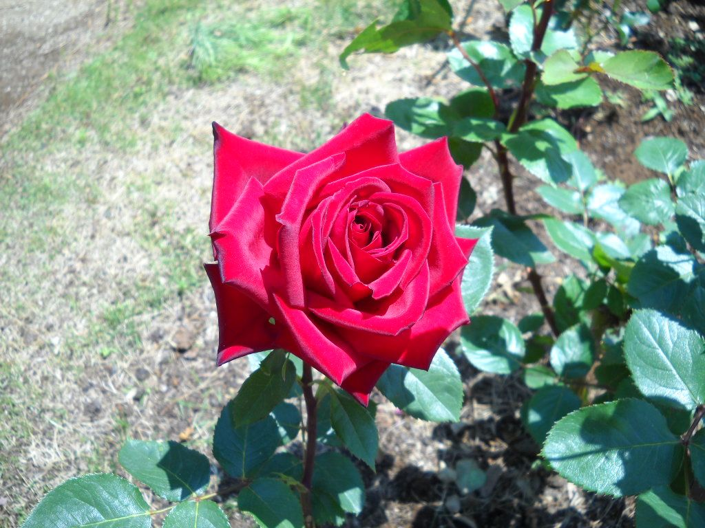 絶対に!はずせない!鈴木省三コーナー 究極の赤バラ「熱情」