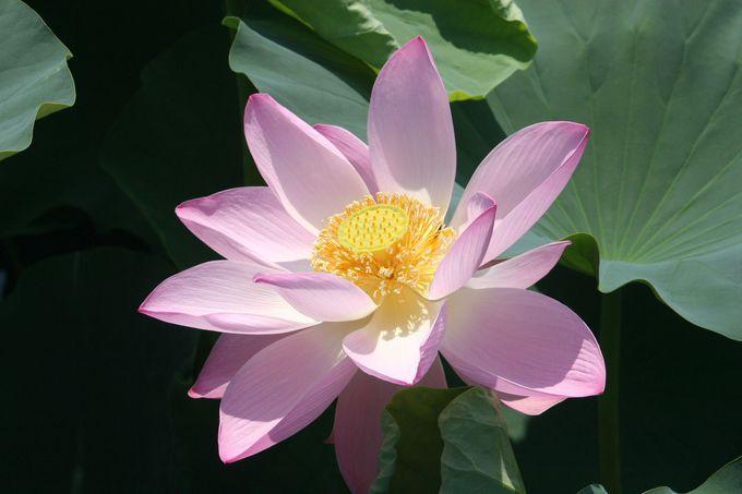 ハスの花は、4日間の儚い命