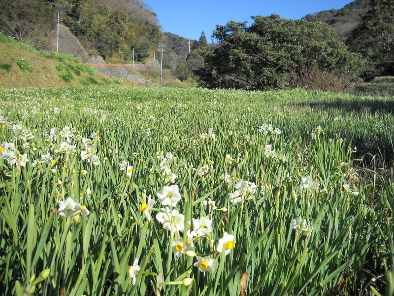 房総の春は早い!千葉・鋸南町「江月水仙ロード」を散策する