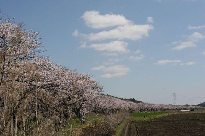 行けども!行けども!桜!さくら!サクラ!