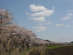 穴場!田園地帯にピンクの帯!千葉・白井市「今井の桜」