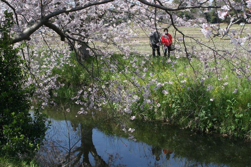 川面に写る桜も愛でる