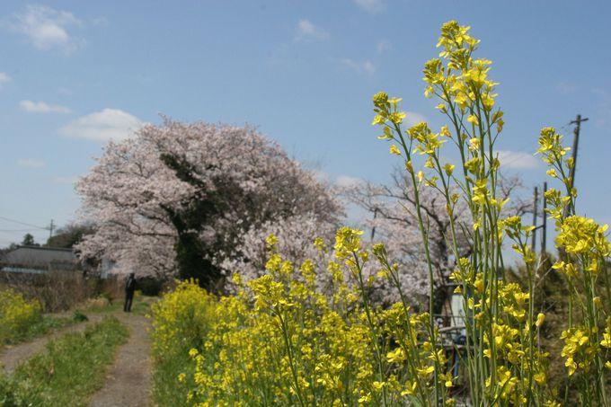 菜の花と桜のコラボも愉しめる