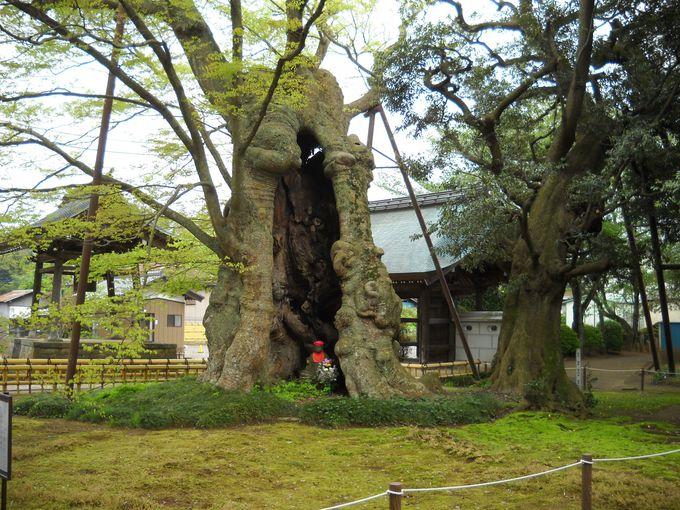 「高源寺」の樹齢1600年の地蔵ケヤキ(茨城県指定天然記念物)