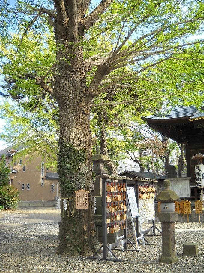 御神木「子授け・子育ての木」は、樹齢300年あまりの「大銀杏」