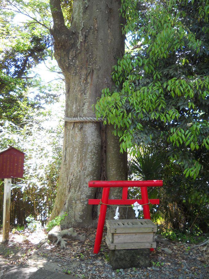 こちらもミニ鳥居で祀られた「子授けの大樹」