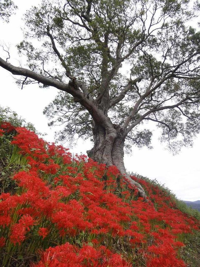 巨木と真紅色のヒガンバナ