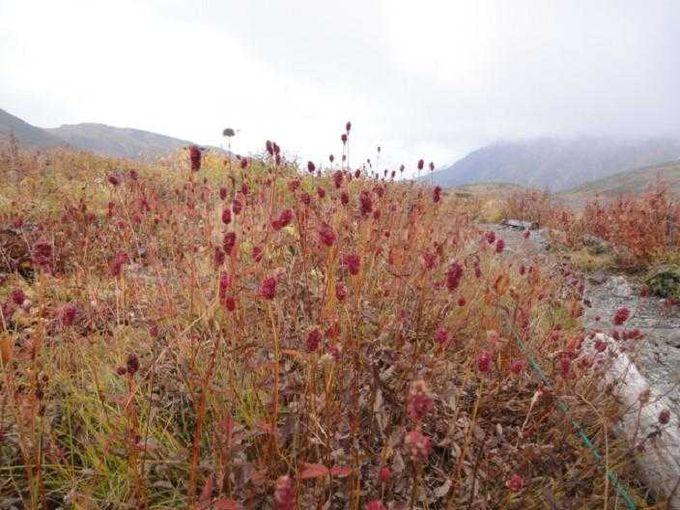 夏の終わりを告げる高山植物