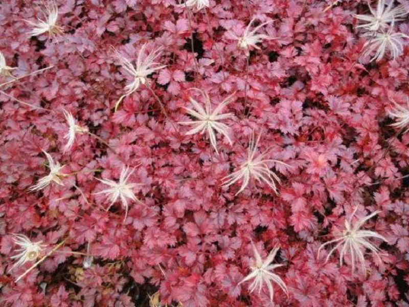 真っ赤な絨毯にふわふわ綿毛の風ぐるま 秋色アートな高山植物