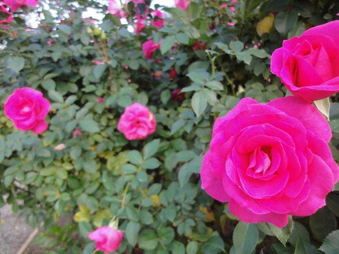 香り豊かな秋バラ