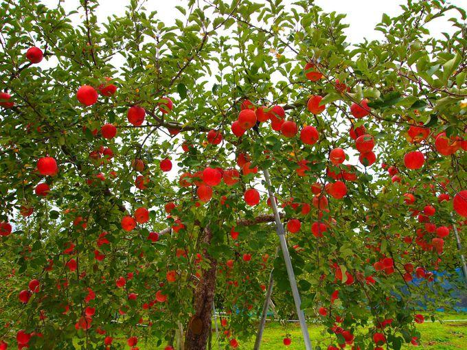 奥久慈りんごの生い立ち