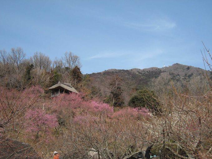 梅と関東平野の景色が最高!!イベントいっぱいの筑波山梅まつり