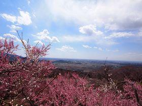 1,000本の梅と250本の河津桜を楽しめる早春の筑波山