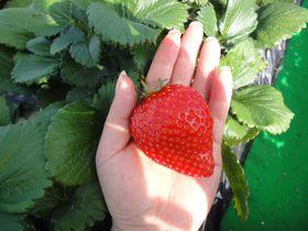 栃木県に行かなきゃ食べられない 幻のイチゴ「とちひめ」の摘み取り