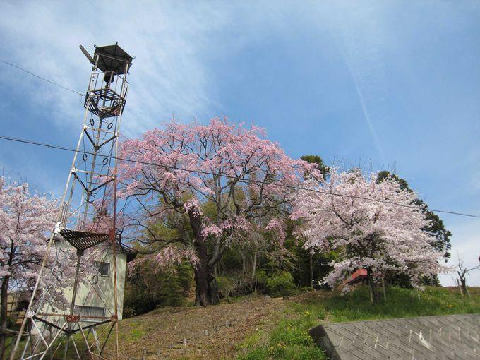 小高い丘の地蔵堂の横に咲く「地蔵桜」