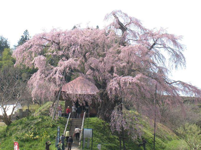 周辺地域にも滝桜の子孫が美しく咲いています
