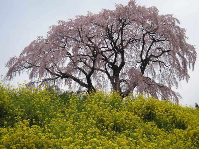 三春町内の桜の数は1万本以上!!