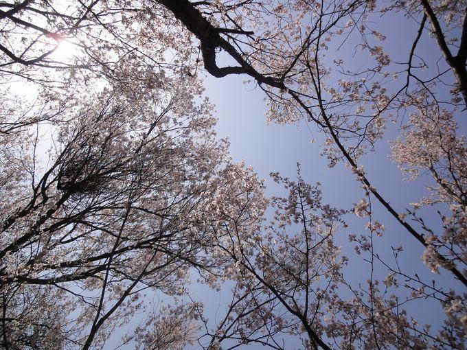 ふと見上げれば満天の桜
