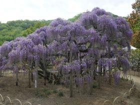 GWは樹齢140年の大藤で有名な「あしかがフラワーパーク」へ