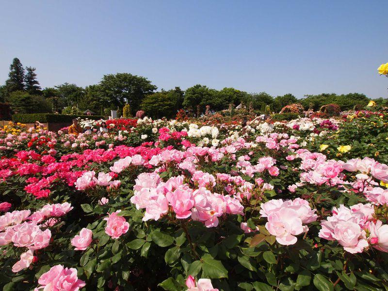 バラを見るなら朝 世界各国のバラが咲き誇る京成バラ園早朝さんぽ