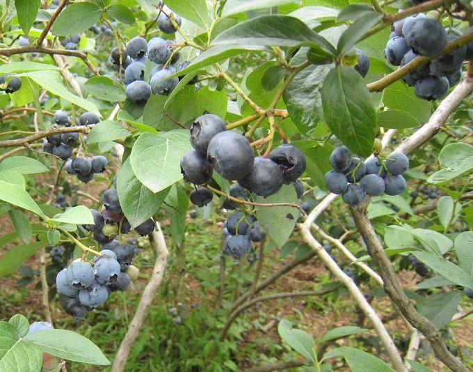 1960年代にアメリカからやってきた青い果実