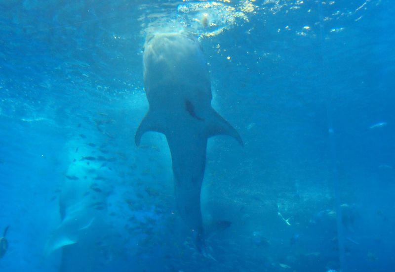 必見!!巨大ジンベイサメの立ち泳ぎ 美ら海水族館は各種プログラムを活用して楽しもう♪
