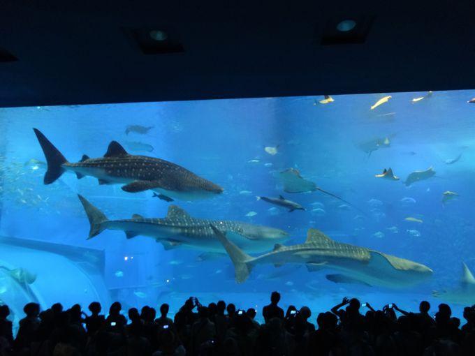 ジンベイザメが悠々と泳ぐ大水槽「美ら海水族館(沖縄)」