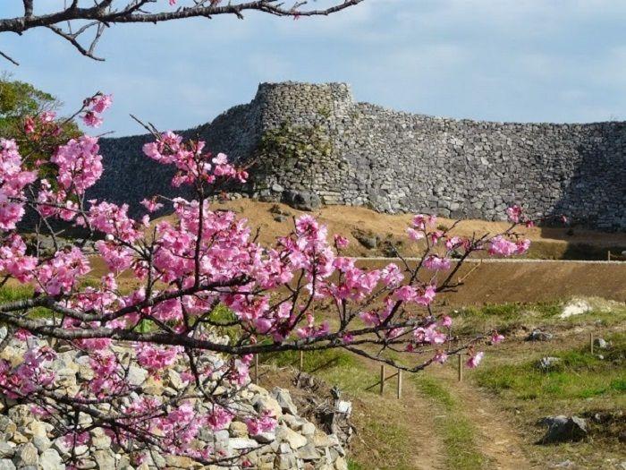 冬こそ沖縄!!日本一早く咲く桜を求めて世界遺産・今帰仁城跡へ