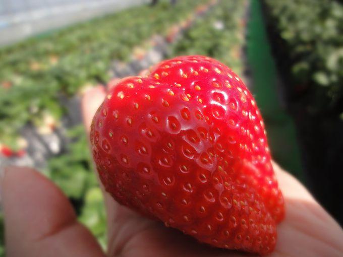栃木県小山市「いちごの里」の苺は、太陽の光とミツバチからの贈り物♪