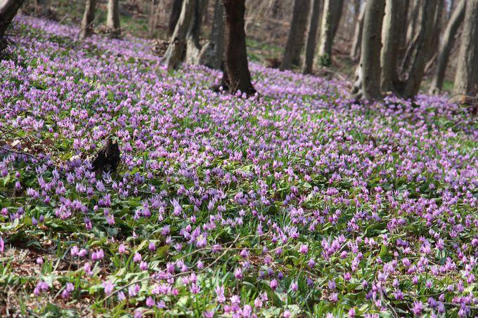 春の優しい光が注がれる群生地を歩いてみよう!!