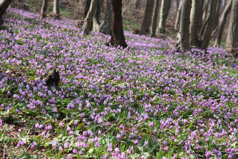 カタクリの群生地・栃木市「みかも山公園」で早春お花見ウォーク♪