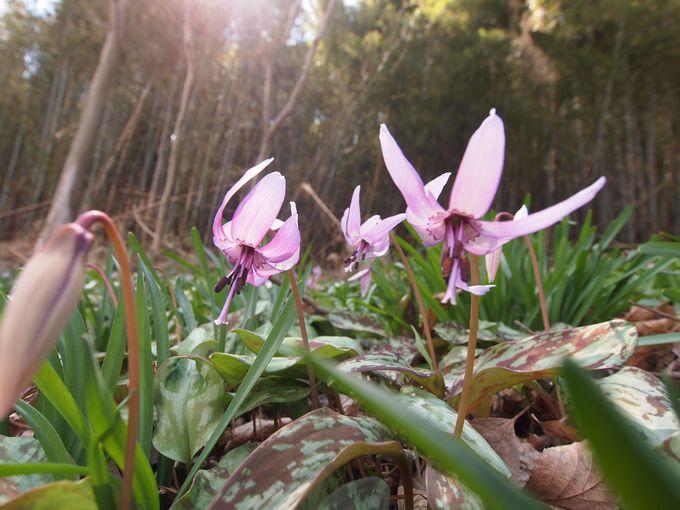 春の訪れを告げる可憐な山野草