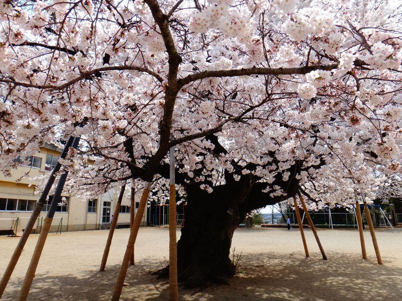 土浦市真鍋小学校の桜が凄い!!校庭のド真ん中で艶やかに春を告げる